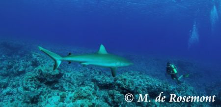 Grey reef shark encounter. 